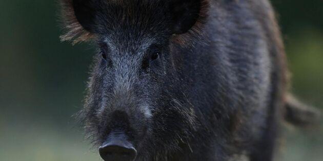 Utbrottet av svinpest i Tjeckien anses över