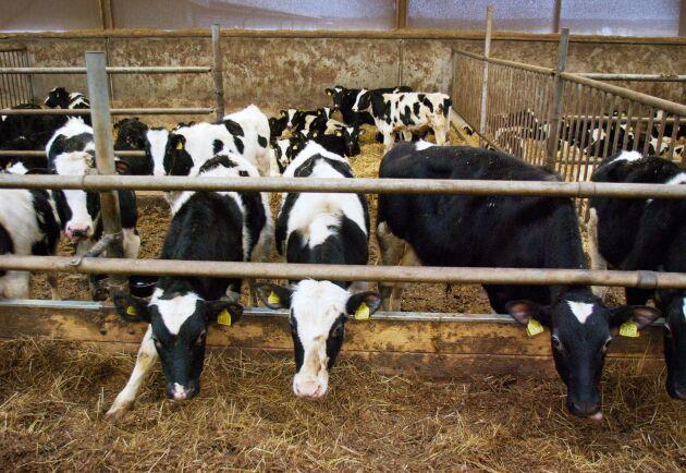 Allt fler och större tjurar slaktades under året.