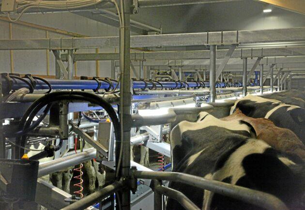 Bismaken uppkommer nästan alltid under stallsäsongen. Men varför mjölken börjar smaka blåbär vet inte forskarna. (Arkivbild, gården på bilden har inget med artikeln att göra)