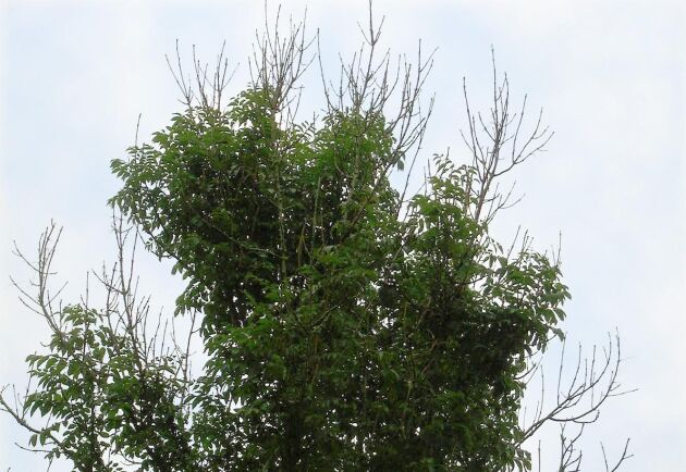 När askskottsjukan nått runt hela stammen stryps näringstillförseln och trädet dör. Ofta bildas en mängd nya skott ytterst på grenarna vilket ger träden ett buskigt utseende.