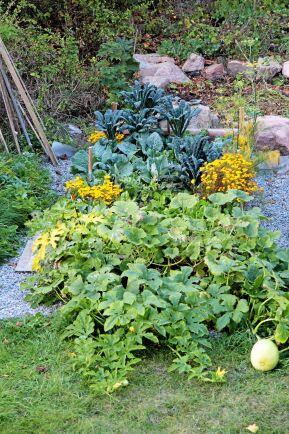 Skifte 2, näringskrävande växter som pumpa och kål. Foto: Bella Linde.