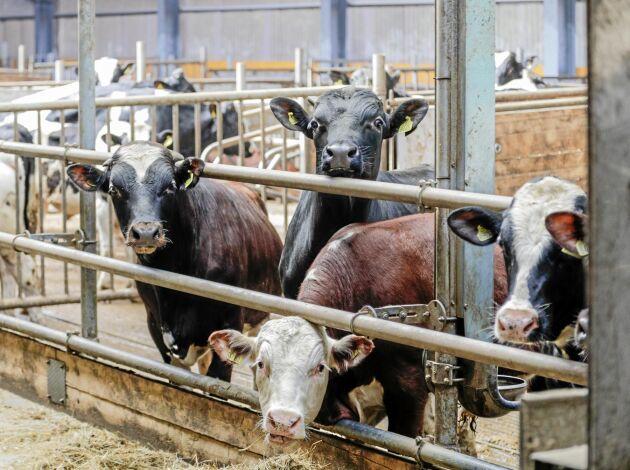 Till mellanstallet på Hjälmsäter kommer tjurarna när de är tre–fyra månader gamla. Efter ytterligare ungefär fyra månader går de vidare till slutgödningsstallet.