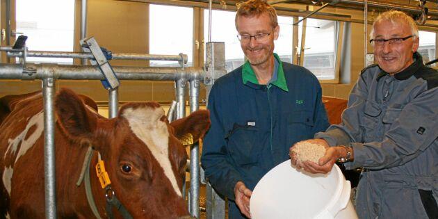 Sågspån på menyn för norska korna