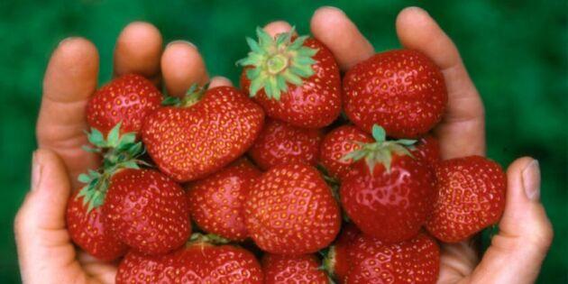 Stor risk för kort jordgubbssäsong