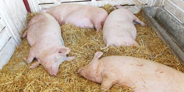 Klassisk svinpest kan vara på väg att utrotas