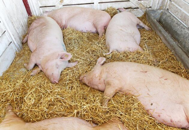 Om de kinesiska forskarna lyckas fullt ut kan grisar bli immuna mot klassisk svinpest.