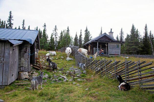 Här på Lofjätåsens fäbod i Älvdalens kommun, njuter både Lotta och hennes getter och kor av friheten.