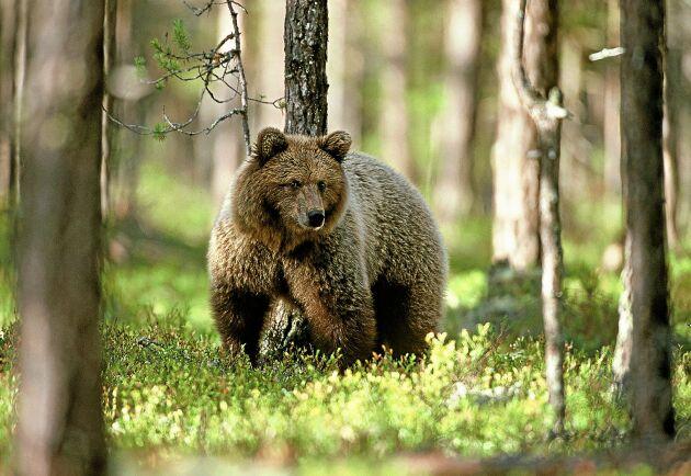 Stora däggdjur som björn, älg, varg och bäver är väldigt lockande när brittiska naturturister ska välja resmål.