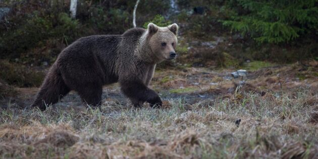 Björn bet jägare i huvudet