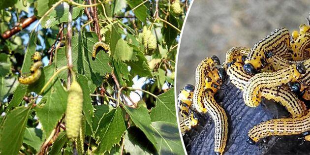 Invasiva skräcklarven har spridit sig rekordlångt i landet