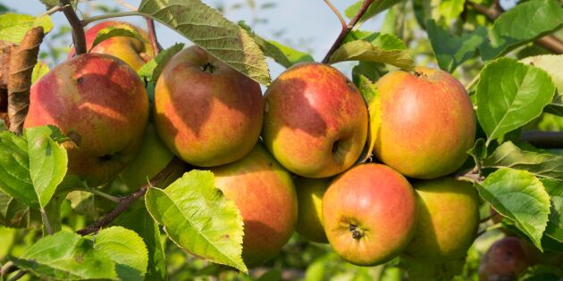Goda tider för äppelodlarna - varmt väder ger söta äpplen