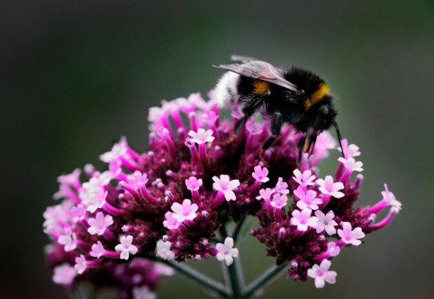 Nytt hot mot bin? Importerade humlor som används för pollineringstjänster kan hota både honungsbin och vilda humlor och bin enligt Munka Ljungby Biodlarförening.