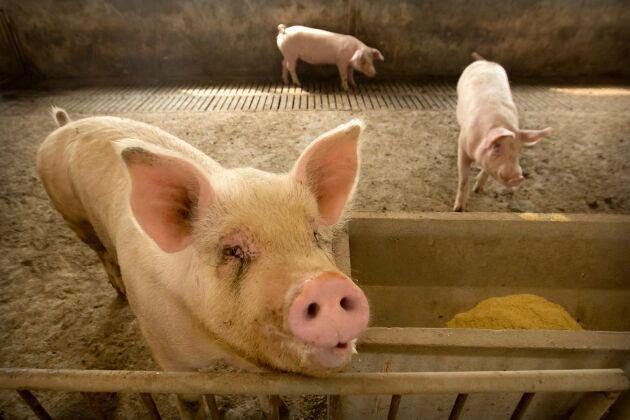 Den afrikanska svinpesten har drabbat den kinesiska grisproduktionen hårt.