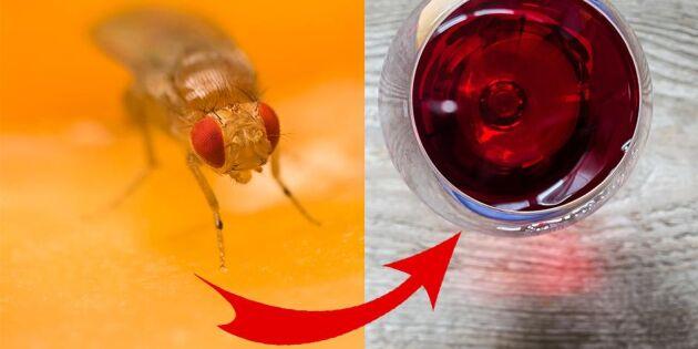 Smarta vintricket som rensar hemmet på bananflugor i ett nafs!