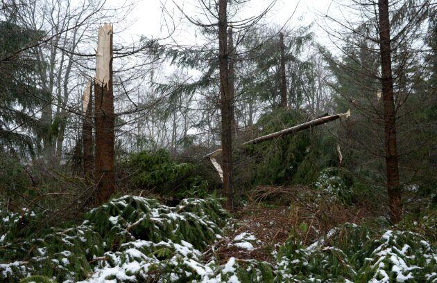 Granar blåser lättast omkull, nu är det dessutom historiskt stora förekomster av granbarkborrar.