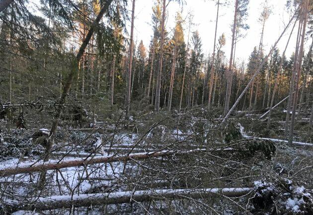 Sporadiska vindfällen har skapats överallt i området öster om E4 i Uppland, enligt Mellanskog.