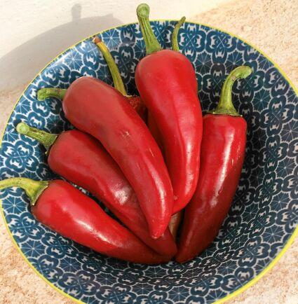 'Korosco' ger stor skörd av vackert röda paprikor med frisk söt smak. Plantan är stadig och 60-70 cm hög. Så inomhus i februari-mars för plantor till växthus och i mars-april för utplantering på friland. Ekofrö. Runåbergs fröer.