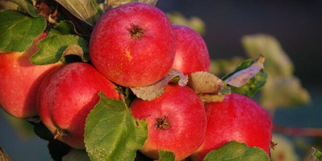 Då tar de svenska äpplena slut för säsongen