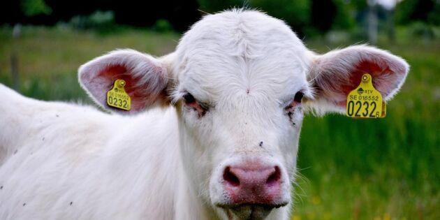 Brist på svenskt kött på kommunernas matbord