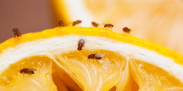 Så blir du av med irriterande bananflugor