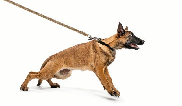Framåt till varje pris. Ovanan att hunden drar går att få bukt med.