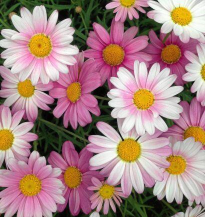 Den klassiska margeriten finns även i rosa.