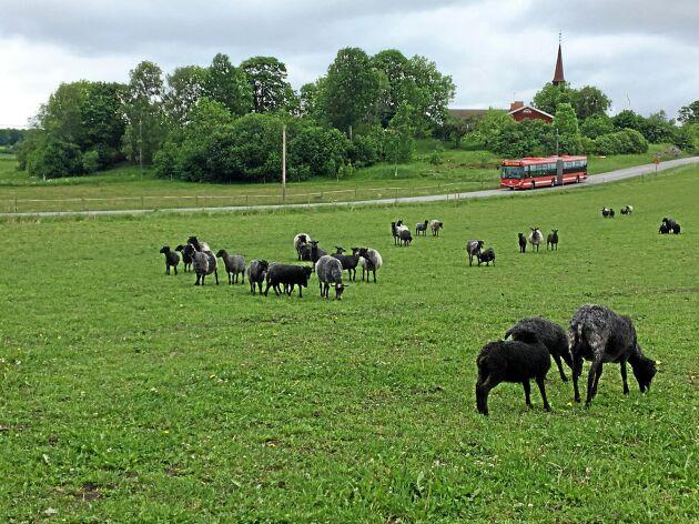 Seminering blir allt vanligare inom fåraveln och dräktighetsresultaten ligger strax under 50 procent.