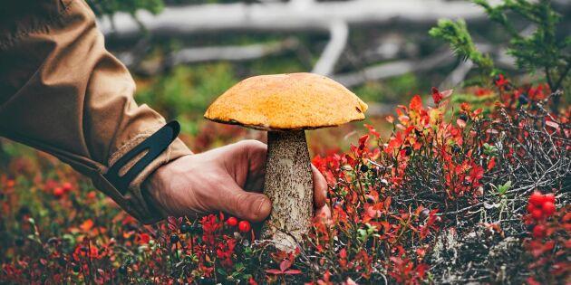 12 godaste svamparna – så känner du igen dem