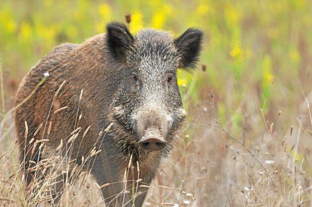 Vildsvin och jakten på dem är en smittorisk. I Danmark är oron stor för den svenska vildsvinspopulationen ska sprida sjukdomen vidare.