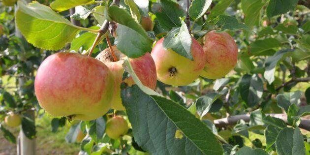 Äppelodlingen i Sverige ökar
