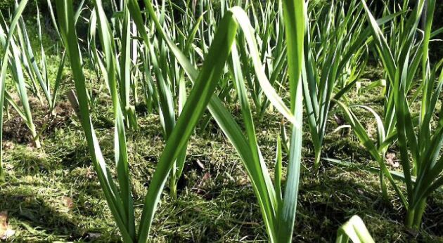Lägg gräsklipp direkt på jorden så blir vitlöken glad.