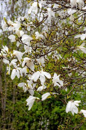 'Wada's Memory' får stora blommor som fladdrar som fjärilsvingar i vinden.