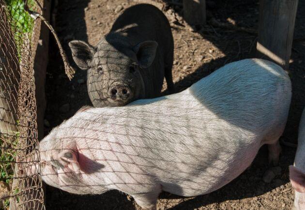 Ryssland misstänker att afrikansk svinpest härjar i Vitryssland. Detta kan hota ryska grisar, som de på bilden.