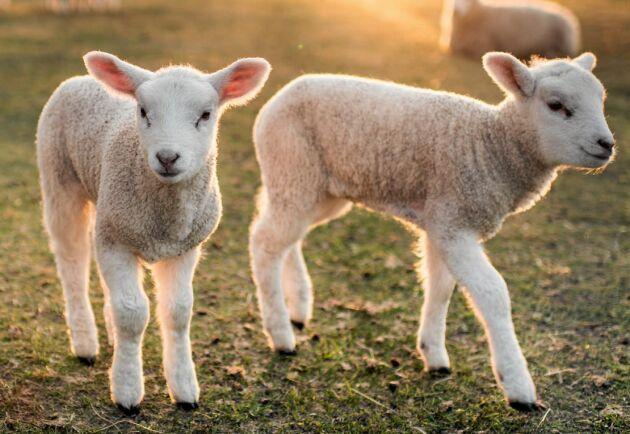 Svenska lamm har det bättre än lamm från importländer.