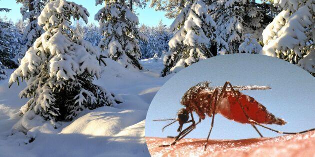 Mycket snö kan ge mycket mygg