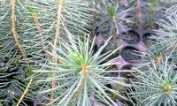 Storsatsning på klonade plantor