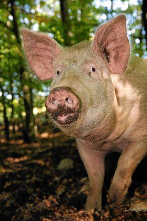 Sommartid går grisarna i skogarna kring Wanås slott.