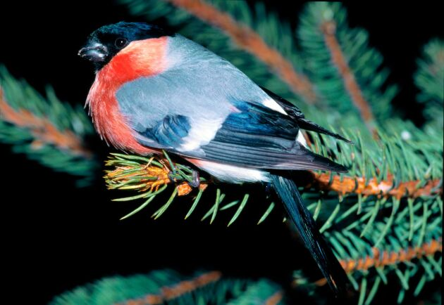 Skogsfåglar som domherre ökar i Västmanland.