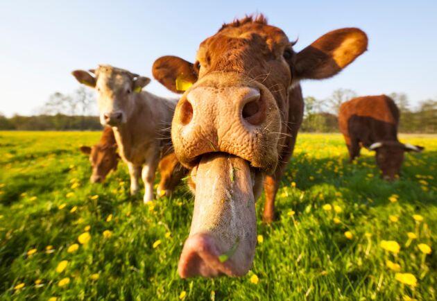 Korna har fått ströva omkring fritt utan tillsyn och letat efter mat i området. De har bland annat synts springande på bilvägar och i folks trädgårdar.