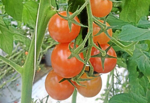 55 ton tomater skördas årligen. Säsongen varar mellan vecka åtta och vecka 45.