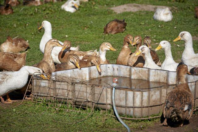 Ankorna av raserna Cayuga och Blekingeanka går fritt och äter mördarsniglar och skadesinsekter samtidigt som de bidrar till gödslingen.