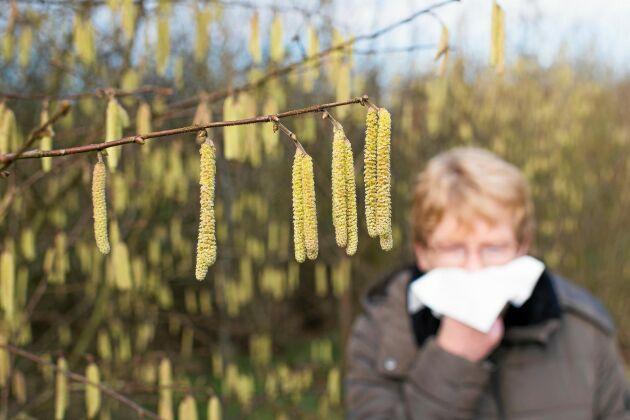 Säsongen för pollenallergi kan vara lång och besvärlig. Hassel kan börja blomma redan i februari.