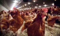 Nytt fall av fågelinfluensa – 18000 höns avlivas