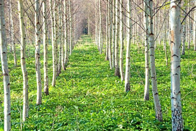Snabbväxande björk i raka rader. Under förra stödperioden gav EU bidrag till planteringen av Lettlands åkermark med stora belopp. Svenska skogsägare har fått miljoner, men nu vill böndernas organisationer bevara jordbruksmarken.