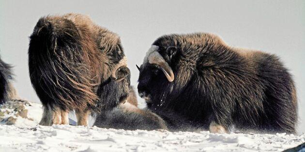Så lever myskoxarna i Härjedalen vintertid – trivs i kyla och halvsvält