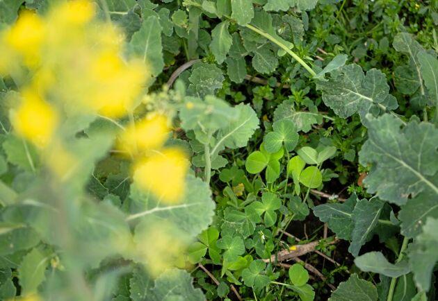 Kompanjon. Övervintrande kompanjongrödor som blodklöver och humlelusern är lågväxande och konkurrerar inte med rapsen, däremot med ogräset. De kvävefixerar även efter att rapsen skördats.