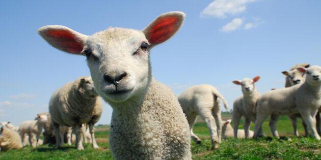 Här finns det flest får i Sverige - det är inte Gotland
