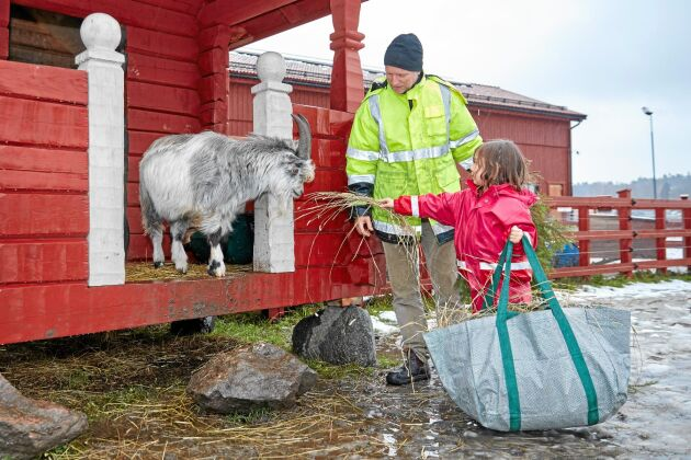 Getmatning. Barnen är delaktiga i allt arbete på gården. Här får Greta ge geten Melker lite lunch.