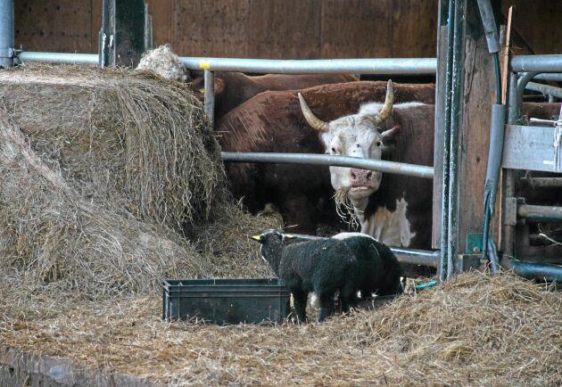 Inte för många djur. Ett 15-tal kor och 90 tackor finns på Sörgården.