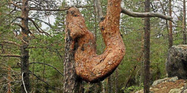Träd som gör en u-sväng